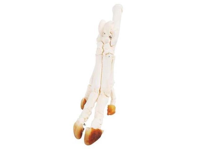 3b Scientific T30022 Pig Foot Skeleton Anatomy Model Newegg