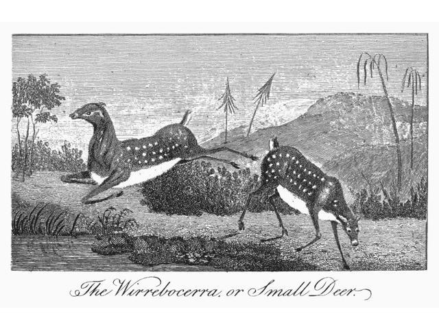 Deer 1796 Nthe Wirrebocerra A Small Deer Of Guiana Line Engraving English 1796 From The Narrative Of An Expedition Against The Revolted Negroes Of Surinam By JG Stedman Poster Print by  (18 x 24)