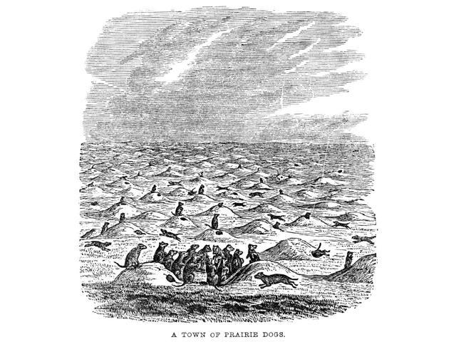 Prairie Dogs Na Town Of Prairie Dogs On The American Plains Wood Engraving American C1850 Poster Print by  (18 x 24)