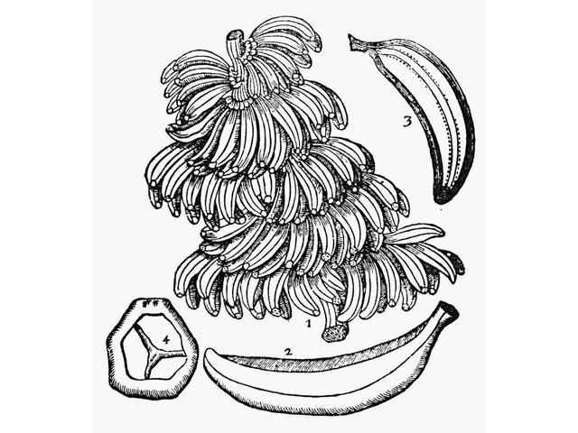 Botany Bananas 1633 Nwoodcut From Thomas JohnsonS Edition 1633 Of John GerardS Herball First Published 1597 In London England Poster Print by  (18 x 24)