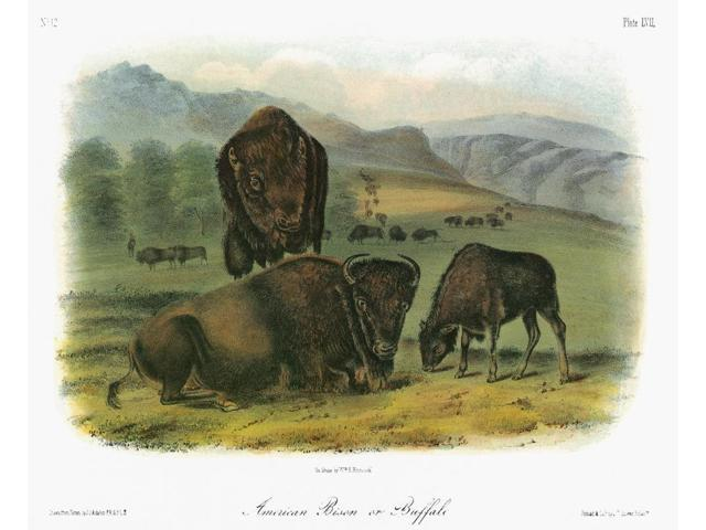 Audubon Buffalo Namerican Bison Or Buffalo (Bison Bison Or Bison Americanus) Female (Foreground) Male And Young Lithograph C1851 After A Painting By John James Audubon For His Viviparous Quadrupeds Of
