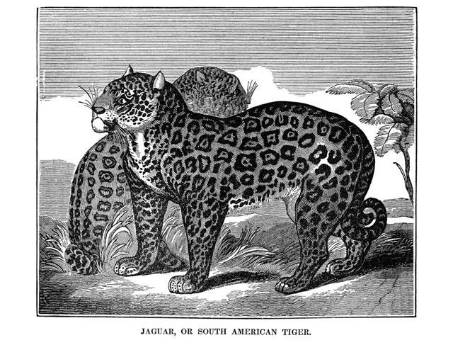 Jaguars Nwood Engraving 19Th Century Poster Print by  (18 x 24)