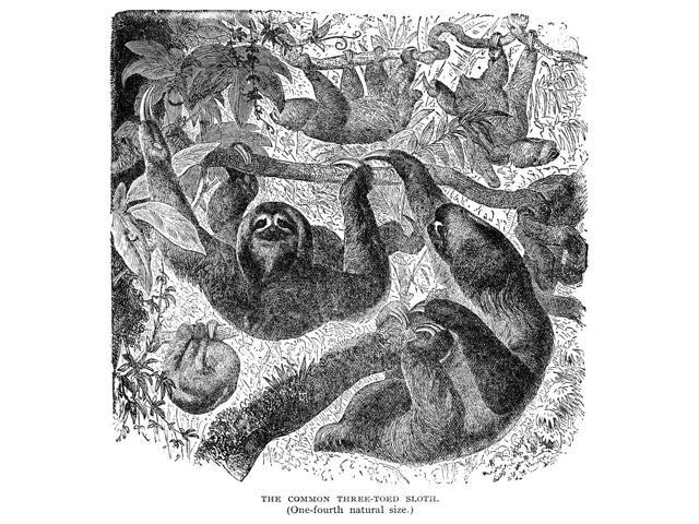 Three-Toed Sloth Nthe Three-Toed Sloth (Bradypus Tridactylus) Wood Engraving American 1904 Poster Print by  (18 x 24)