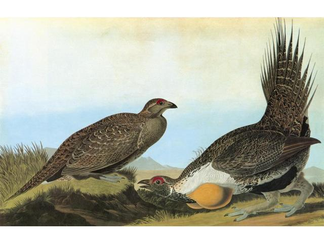 Audubon Grouse Ngreater Sage Grouse (Centrocercus Urophasianus) Engraving After John James Audubon For His Birds Of America 1827-38 Poster Print by  (18 x 24)