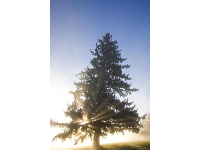Tree And Sunlight Willamette Valley Oregon United States Of America Poster Print (11 x 17)
