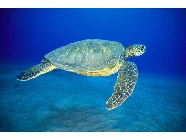 Hawaii Green Sea Turtle Swims Midwater Clear Water Sandy (Chelonia Mydas) A77D Poster Print (19 x 12)