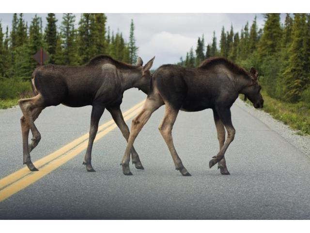 Two Young Moose Calves Cross The Park Road In Denali National Park Interior Alaska Summer Poster Print (17 x 11)