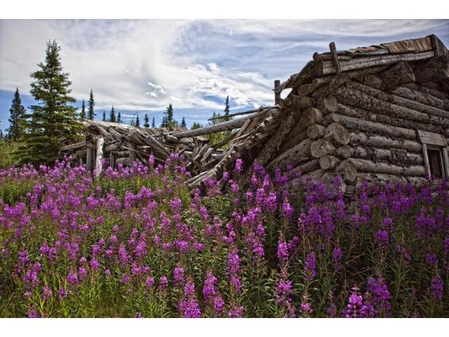 Old Trappers Cabin Surrounded By Fireweed At Silver City Yukon Poster Print (17 x 11)