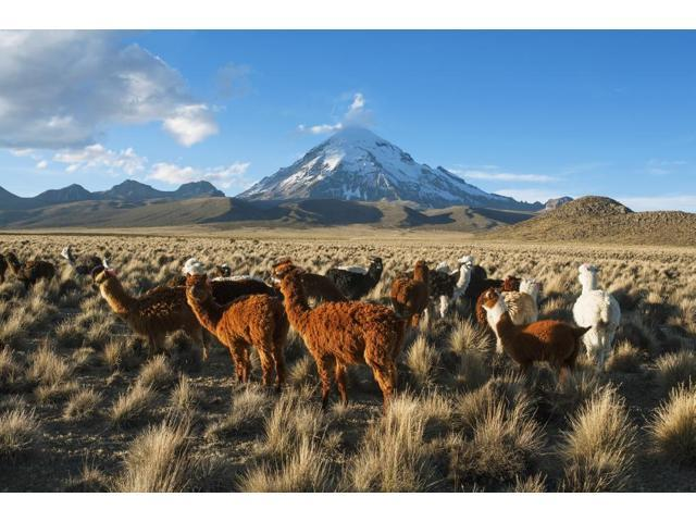 Lamas in front of Nevado Sajama Sajama National Park Bolivia Poster Print (19 x 12)