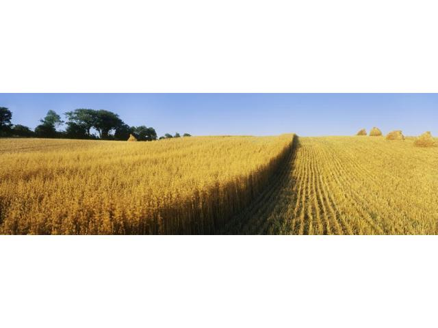 Oat Crops On A Landscape County Dawn Northern Ireland Poster Print (37 x 12)