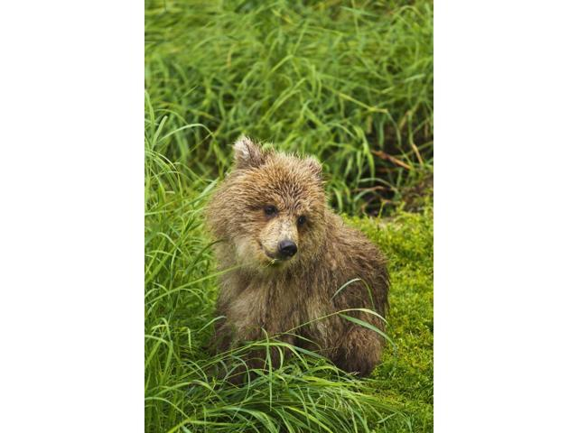 Brown bear (Ursus arctos) cub close-up sitting in grass Katmai National Park and Preserve Southwest Alaska USA Poster Print (12 x 19)