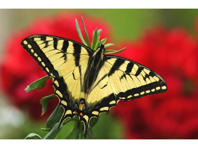 Close Up Of A Canadian Tiger Swallowtail Butterfly With Red Geraniam Flowers In Background Poster Print (17 x 11)