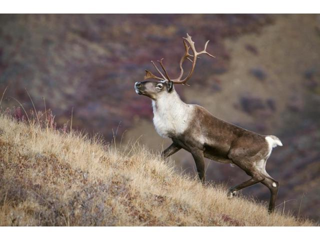 A Young Male Caribou Climbs A Steep Ridge Line In Denali National Park Interior Alaska Fall Poster Print (17 x 11)
