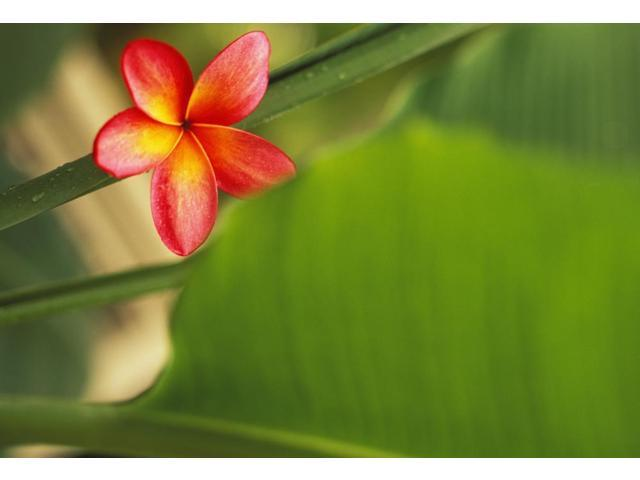 Pink Plumeria Flower Resting On Banana Plant Stem Leaves In Background Poster Print (17 x 11)