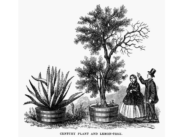 Agave And Lemon Tree Nan Agave Plant And A Lemon Tree As Seen By Visitors To George WashingtonS Garden At Mount Vernon Wood Engraving American 1883 Poster Print by  (18 x 24)