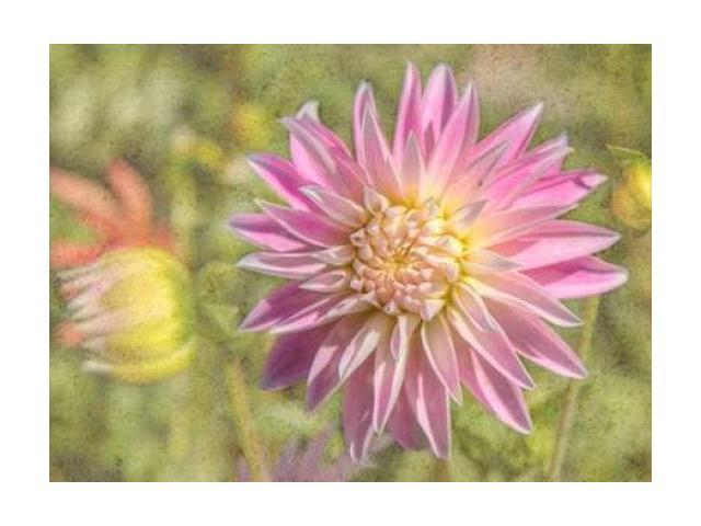 Garden Dahlias Poster Print by George Johnson (20 x 28)