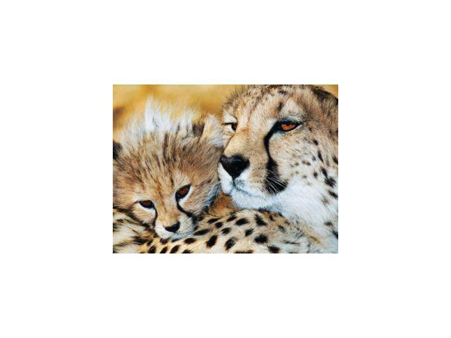 Animal Planet Cheetah 300 Piece Puzzle by Masterpieces Puzzle Co.