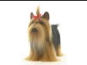"Yorkshire Terrier 14.17"" by Hansa"
