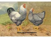 Buyenlarge 05631-2P2030 Silver Laced Wyandottes 20x30 poster