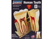 Lindberg 71312 Human Tooth