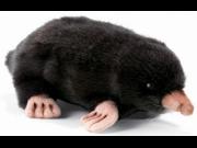 Hansa Mole