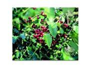 Kahili Ginger Root, Kona Coffee Starter Plant, Ti leaf Starter Plant, Combo Value Pack # 85054