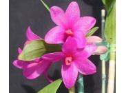 Bamboo Orchid Root, Bird of Paradise Seeds, Dendrobium Orchid Starter Plant, Combo Value Pack # 66659