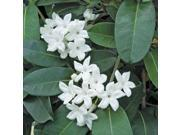 Kahili Ginger Starter Plant, Stephanotis Starter Plant, Ti leaf Starter Plant, Combo Value Pack # 125887