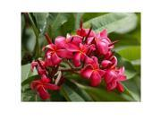 Red Plumeria Cutting, Pink Ginger Root, Pink Ginger Starter Plant, Combo Value Pack # 14542