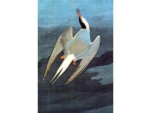 Buy Enlarge 0-587-53530-LC12X18 Arctic Tern- Canvas Size C12X18