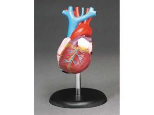 Life-Size Model Heart Is A Great Learning Tool