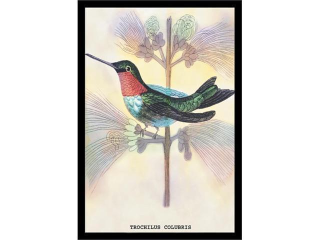Buyenlarge 15221-4P2030 Hummingbird - Trochilus Colubris 20x30 poster