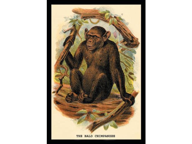Buyenlarge 15174-9P2030 The Bald Chimpanzee 20x30 poster