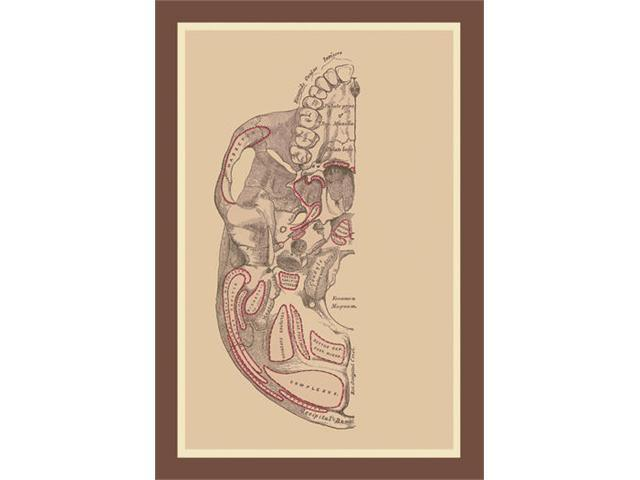 Buyenlarge 11885-7P2030 Study of the Skull 20x30 poster