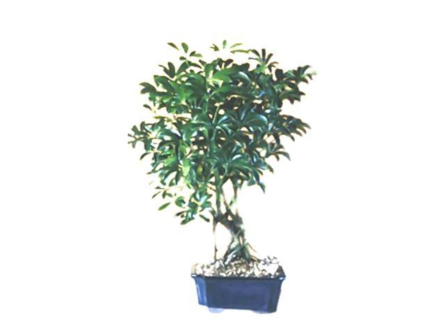 Bonsaiboy Hawaiian Umbrella Bonsai Tree Medium Arboricola Schefflera 'Luseanne'