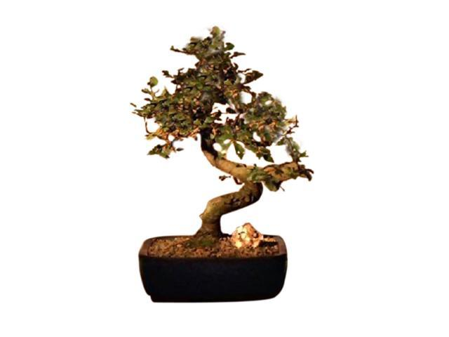 Bonsaiboy Chinese Elm Bonsai Tree Medium .Curved Trunk Style (Ulmus Parvifolia)