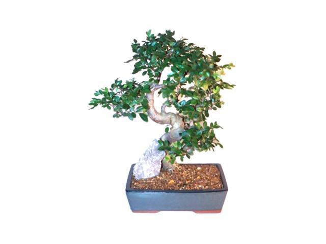 Bonsaiboy Chinese Elm Bonsai Tree XL Curved Trunk Style (Ulmus Parvifolia)