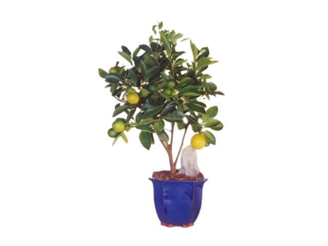 Bonsaiboy Orange Citrus Bonsai Tree (Calamondin Orange)