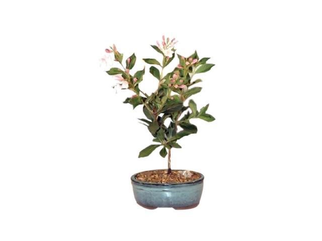 Bonsaiboy Japanese Flowering Quince Bonsai Tree (chaenomles 'toyo-nishiki')