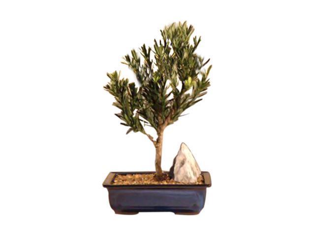 Flowering Podocarpus Bonsai Tree Dwarf Pringles Upright podocarpus macrophyllus