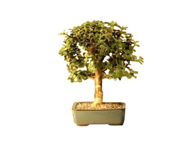 Bonsaiboy Baby Jade Bonsai Tree - Medium (Portulacaria Afra)