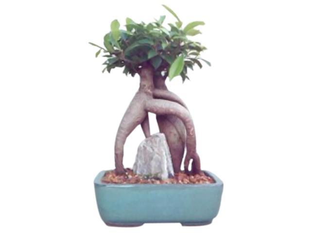 Bonsaiboy Ginseng Ficus Bonsai Tree - Medium (Ficus Retusa)
