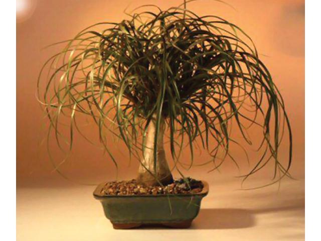 Bonsaiboy Ponytail Palm - Large (Beaucamea Recurvata)
