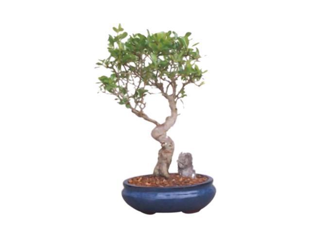 Bonsaiboy Flowering Pyracantha Bonsai Tree (pyracantha 'mohave')