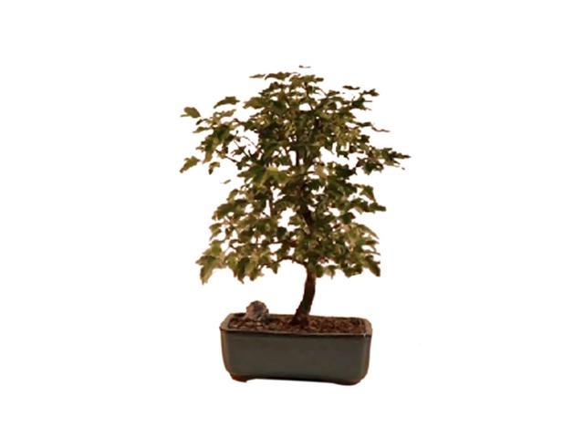 Bonsaiboy Trident Maple Bonsai Tree (Acer Buergerianum)