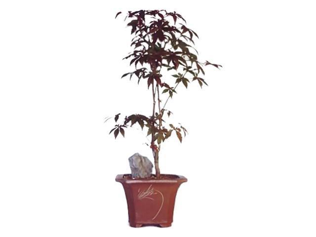 Bonsaiboy Japanese Red Maple Bonsai Tree - Large (Acer Palmatum Atropurpurea)