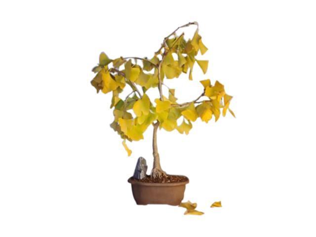Bonsaiboy Ginkgo Bonsai Tree (ginkgo Biloba)