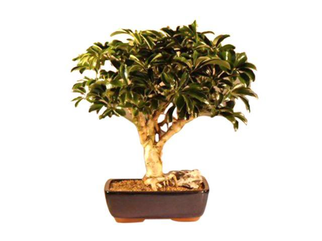 Hawaiian Umbrella Bonsai Tree - Large (arboricola schefflera 'luseanne)