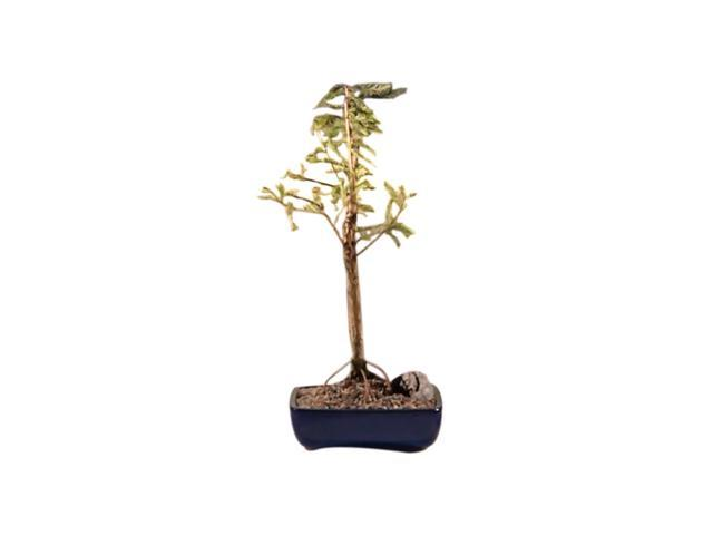 Bonsaiboy Bald Cypress Bonsai Tree (taxodium distichum)