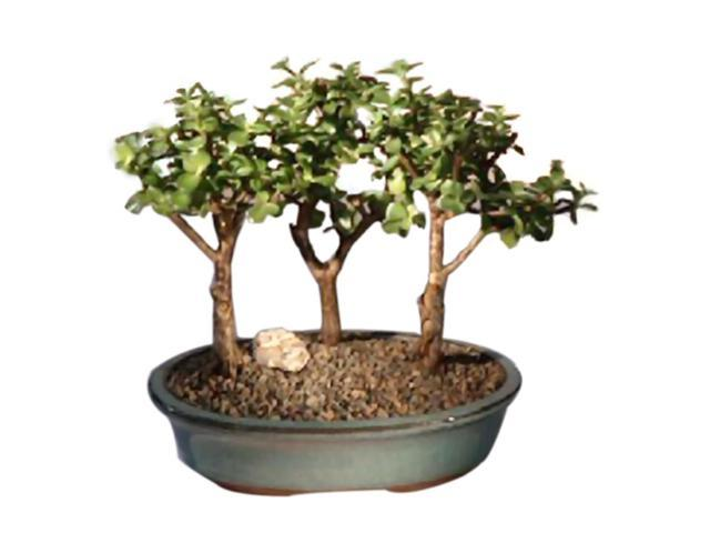 Bonsaiboy Baby Jade-3 Bonsai Tree Group (portulacaria afra)